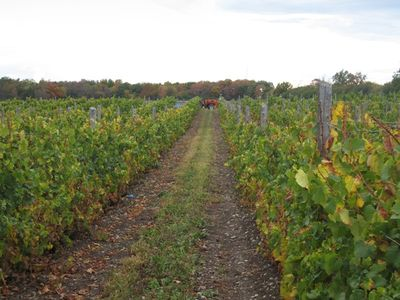 Out in the County Vineyard